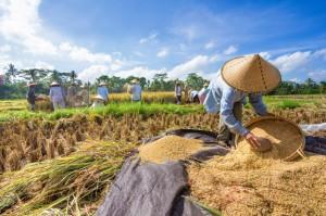 Farmer thresh rice