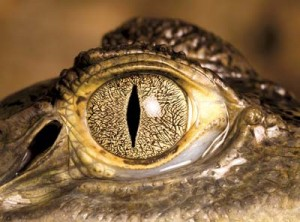 express-alligator-eye